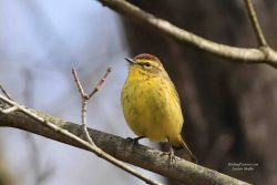 Palm Warblers In Yellow Or Brown