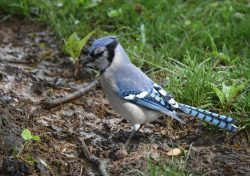 Blue Jays Nesting | Outside My Window