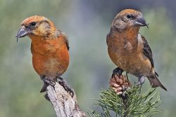Parrot-Finch of the Northern Pines