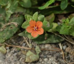 Scarlet Pimpernel | Outside My Window