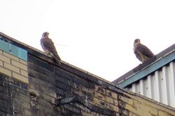 Preparing to Track a Young Peregrine