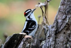 Downy Woodpecker a Year Around Backyard and Suet Visitor – Beautiful Birds Blog