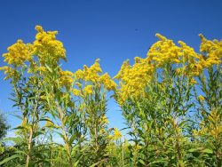 Goldenrod In Stages | Outside My Window