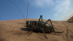Locust Swarms Act Like Facebook