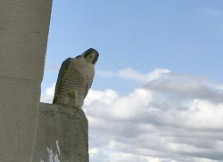 Two Female Peregrines Vying For Pitt