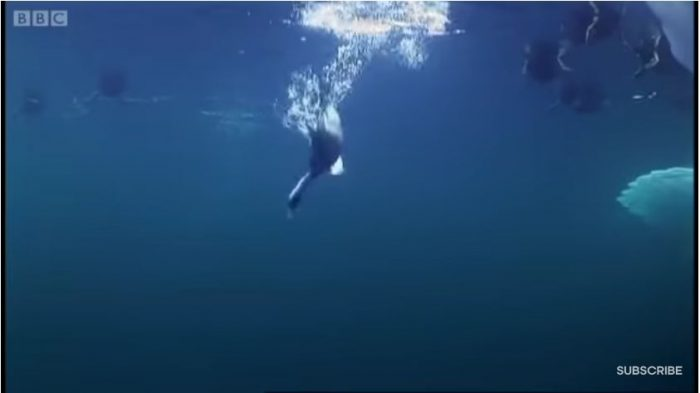 How Diving Ducks Swim With Their Wings