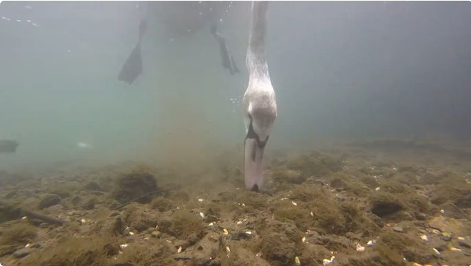 What Swans Do With Their Heads Underwater