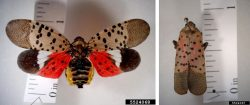 Oh No! Spotted Lanternfly in Beaver County